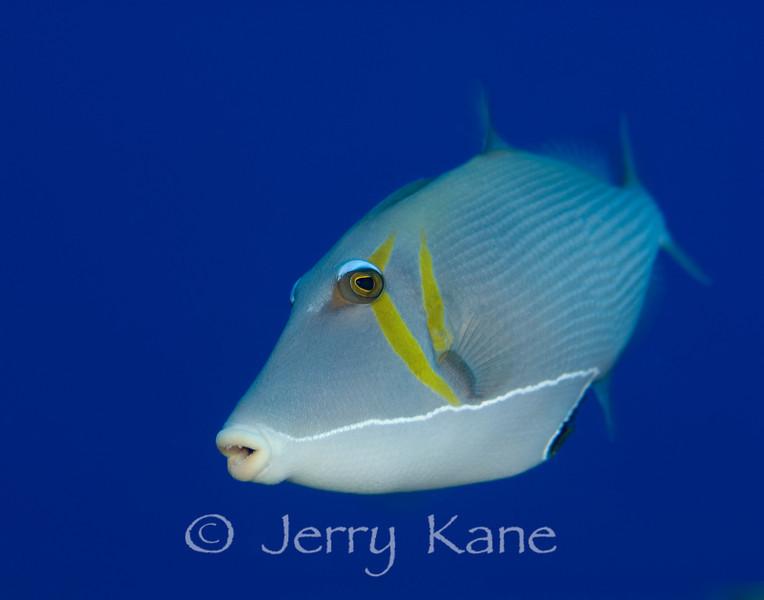 Lei Triggerfish (Sufflamen bursa) - Red Hill, Big Island, Hawaii