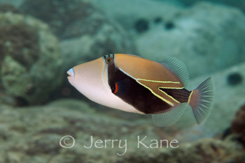 Picasso  Triggerfish (Rhinecanthus rectangulus) - Honokohau, Big Island, Hawaii
