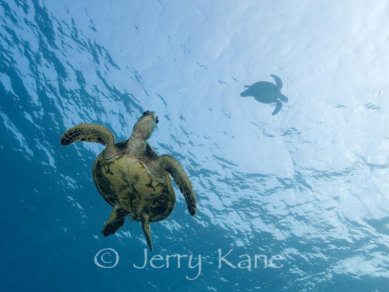 Green Sea Turtles (Chelonia mydas) - Honaunau, Big Island, Hawaii