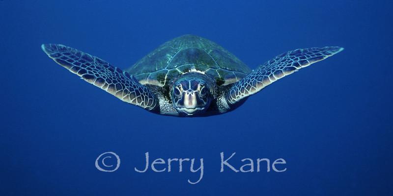 Green Turtle (Chelonia mydas) - Kauai, Hawaii