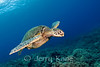 Green Turtle (Chelonia mydas) - Honokohau, Big Island, Hawaii