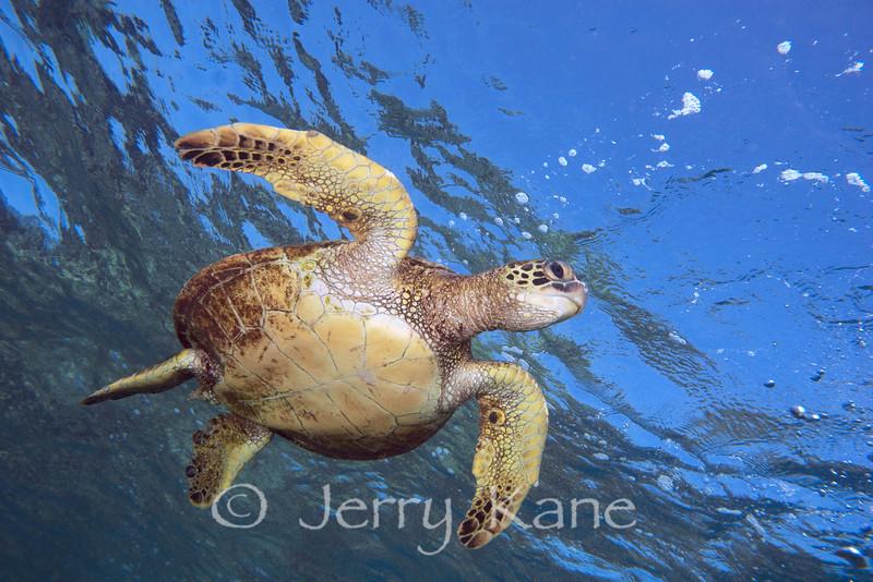 Green Sea Turtle (Chelonia mydas) - Honaunau, Big Island, Hawaii