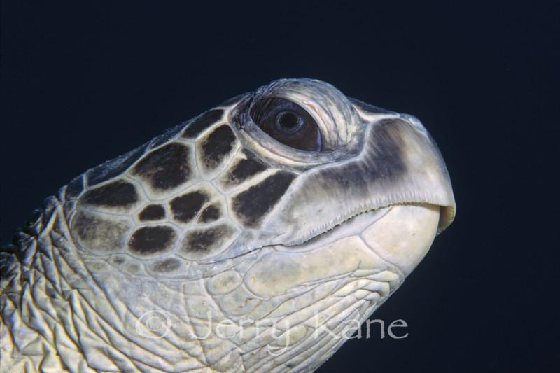 Green Sea Turtle (Chelonia mydas) - Oahu, Hawaii