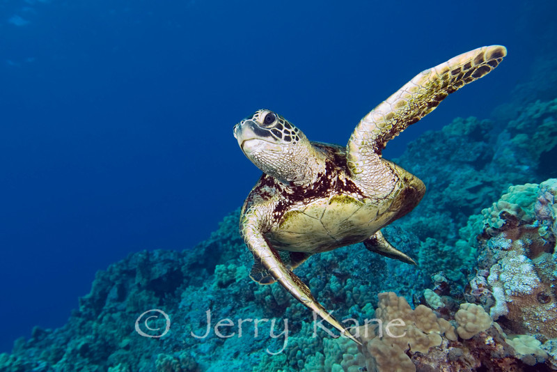 Green Turtle (Chelonia mydas) - Kaiwi Point, Big Island, Hawaii
