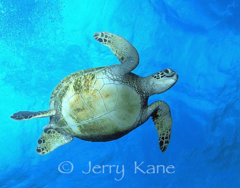 Green Turtle (Chelonia mydas) - Hanauma Bay, Oahu, Hawaii