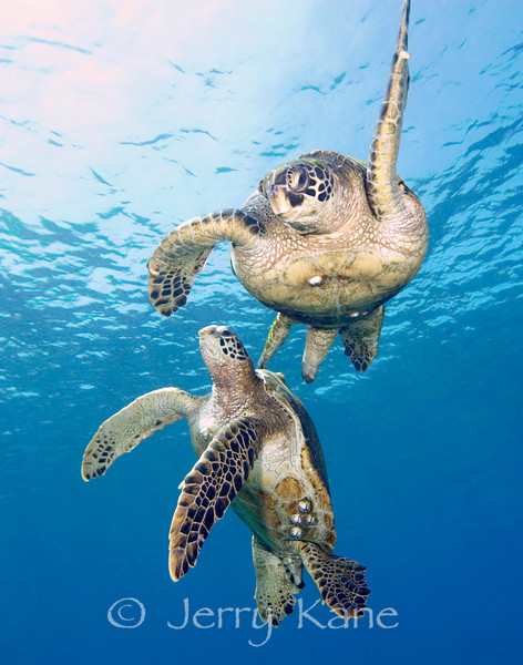 Green Turtles (Chelonia mydas) - Honokohau, Big Island, Hawaii