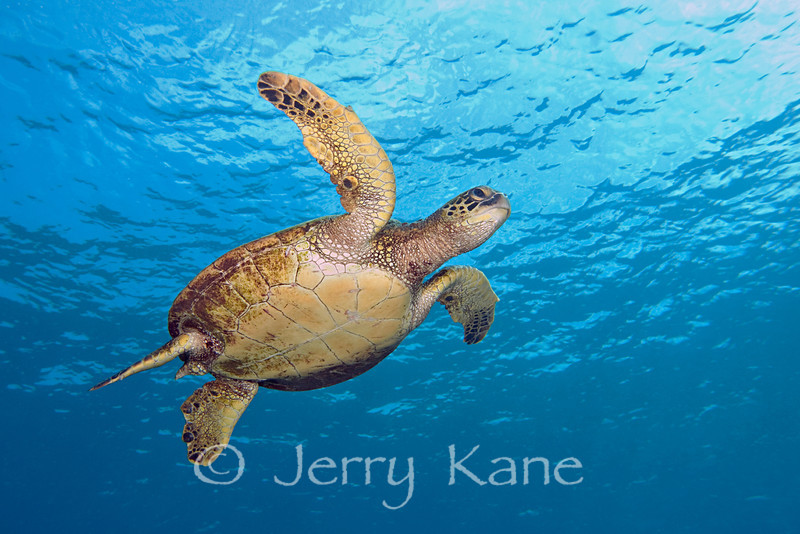 Green Sea Turtle (Chelonia mydas) - Honaunau, Big Island, Hawaii