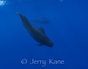 Short-finned Pilot Whales (Globicephala macrorhynchus) - Several miles off Kona, Big Island, Hawaii