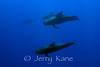 Short-finned Pilot Whales (Globicephala macrorhynchus) - Offshore Kona, Big Island, Hawaii
