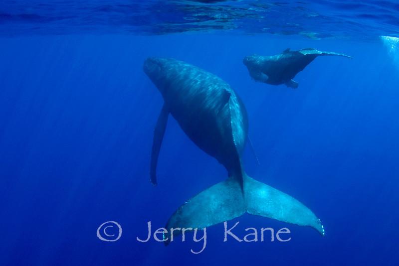 Humpback Whale and Calf (Megaptera novaeangliae) - Hawaii