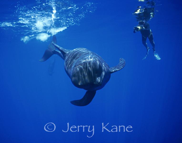 Short-finned Pilot Whale (Globicephala macrorhynchus) and videographer Porter Watson - Offshore Kona, Big Island, Hawaii