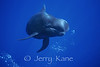 Short-finned Pilot Whale (Globicephala macrorhynchus) - Offshore Kona, Big Island, Hawaii