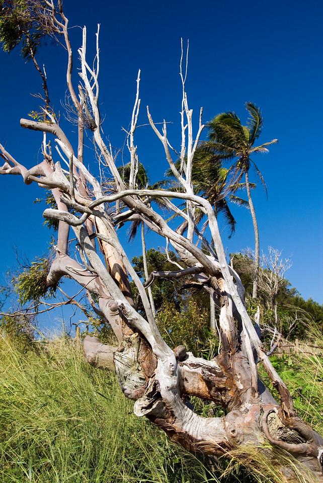 An old knarly tree near Polulu Valley