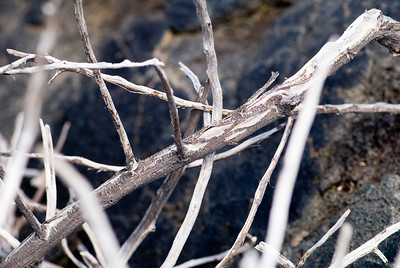 Lava-dried branches near Chain of Craters road