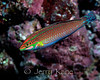Ornate  Wrasse (Haliochoeres ornatissimus) - Oahu, Hawaii