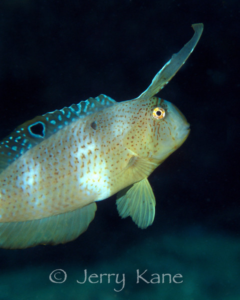 Peacock Razorfish, juvenile (Xyrichtys pavo) - Pupukea, Oahu, Hawaii