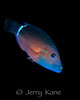 Ringtail Wrasse (Cheilinus unifasciatus) - Honokohau, Big Island, Hawaii