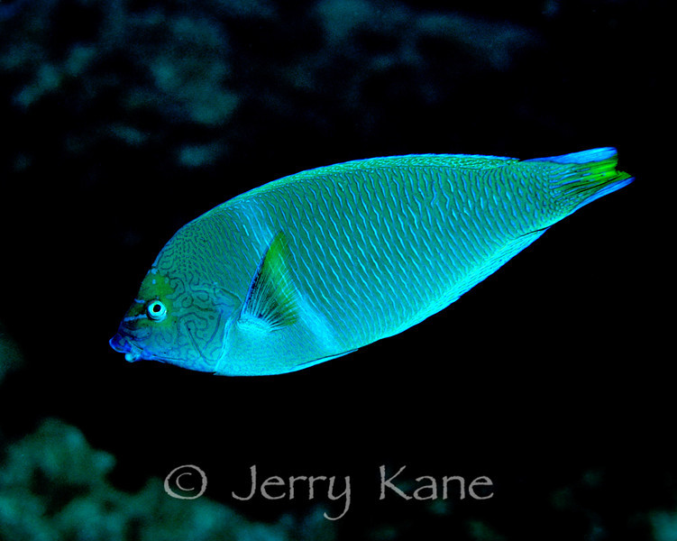 Pearl Wrasse, male (Anampses cuvier) - Oahu, Hawaii