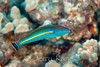 Pencil Wrasse-m (Pseudojuloides cerasinus) - Honokohau, Big Island, Hawaii