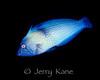 Lined Coris, male (Coris ballieui) - Fantasy Reef, Oahu, Hawaii