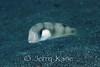 Whitepatch Razor Wrasse (Xyrichtys aneitensis) - Garden Eel Cove, Big Island, Hawaii