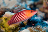 Eight Stripe Wrasse (Psuedocheilinus octotaenia) - Big Island, Hawaii
