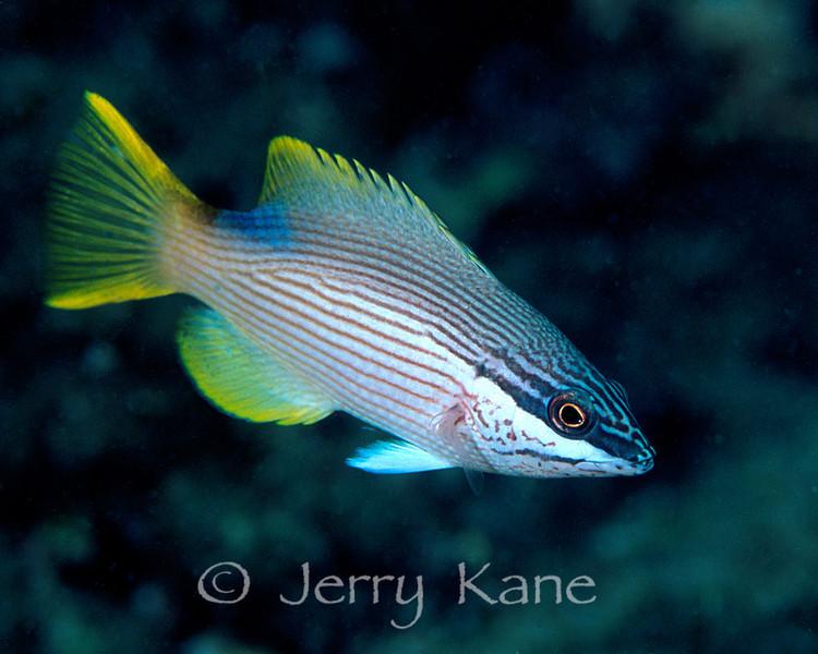 Hawaiian Hogfish, female  (Bodianus albotaeniatus) - Oahu, Hawaii