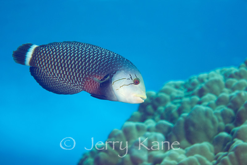 Rockmover Wrasse (Nocaculichthys taeniourus) - Kaiwi Point, Big Island, Hawaii
