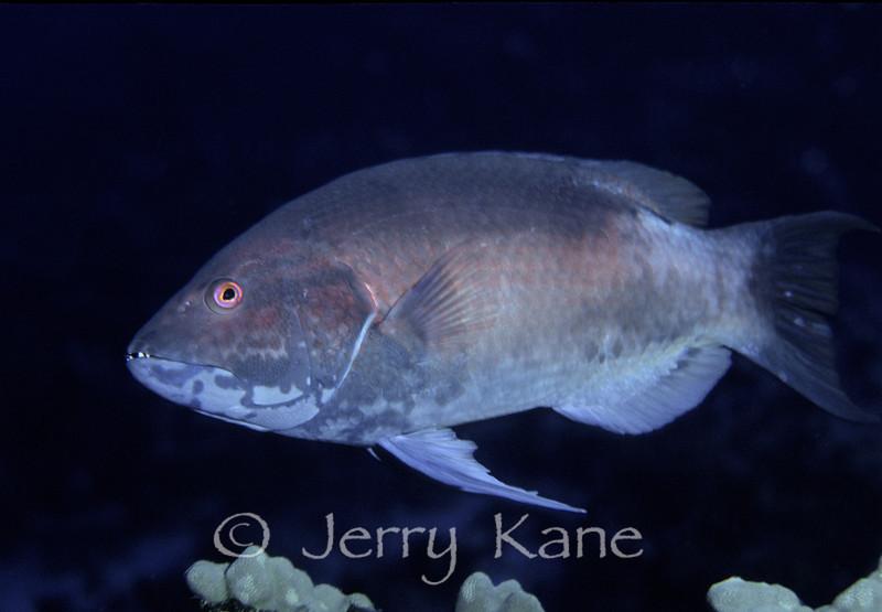 Hawaiian Hogfish, male (Bodianus albotaeniatus) - Big Island, Hawaii