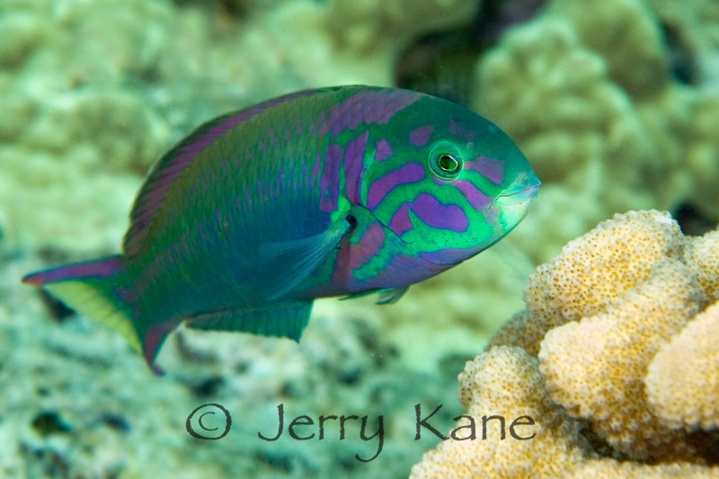 Sunset Wrasse (Thalassoma lutescens) - Honokohau, Big Island, Hawaii
