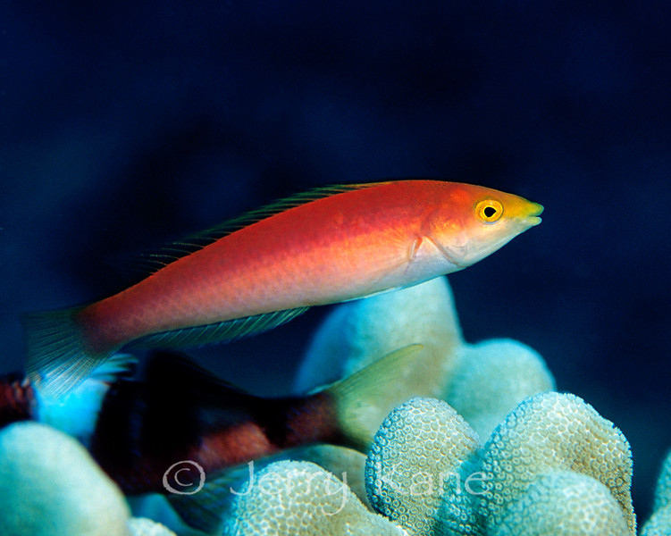 Pencil Wrasse-f (Psuedojuloides cerasinus) - Oahu, Hawaii
