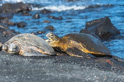 Green Sea Turtle snuggling up (1)