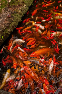 Koi at Byodo-In Temple, Kaneohe