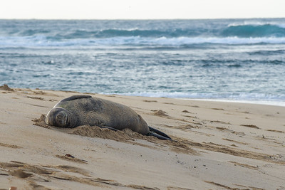 Hawaiian Monk Seal (2)