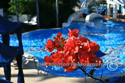 Bougainvillea by the Pool