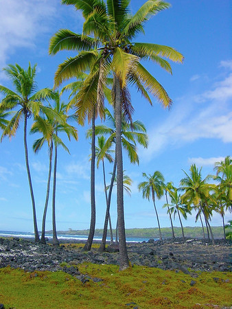 Coconut Trees on Beach 1