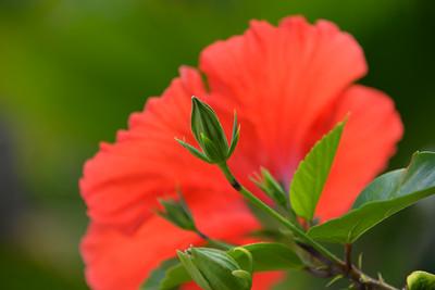 Waimea Flower, Oahu