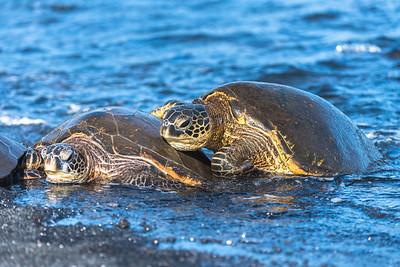 Green Sea Turtle snuggling up (2)
