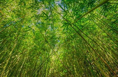Shot amongst the bamboo near the Hana Highway on Maui