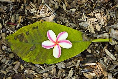 Plumeria on a leaf.