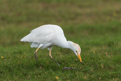 Cattle Egret hunting insects (1)