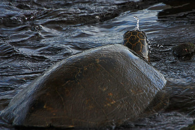 Green Sea Turtle, Punaluu Black Sand Beach