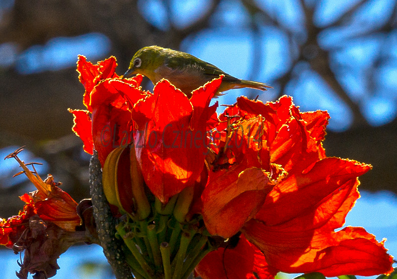 Japanese white-eye (Zosterops japonicus) on African Tulip Tree / Flame Tree (Spathodea Campanulata)
