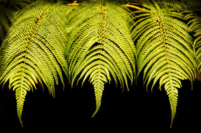Ferns in the rainforest on the Big Island