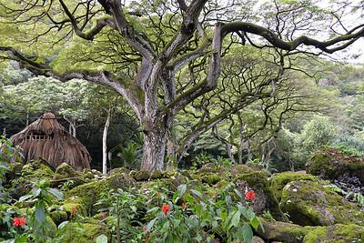 Amazing Trees in Waimea Valley