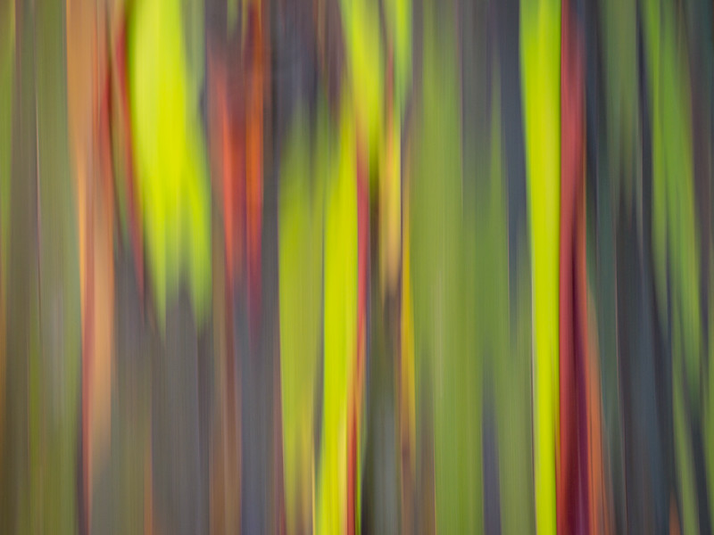 Rainbow Eucalyptus Abstract IIII