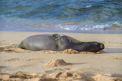 Hawaiian Monk Seal (4)