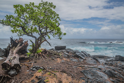 Lava flows and tree along Pacific Ocean on Big Island of Hawaii