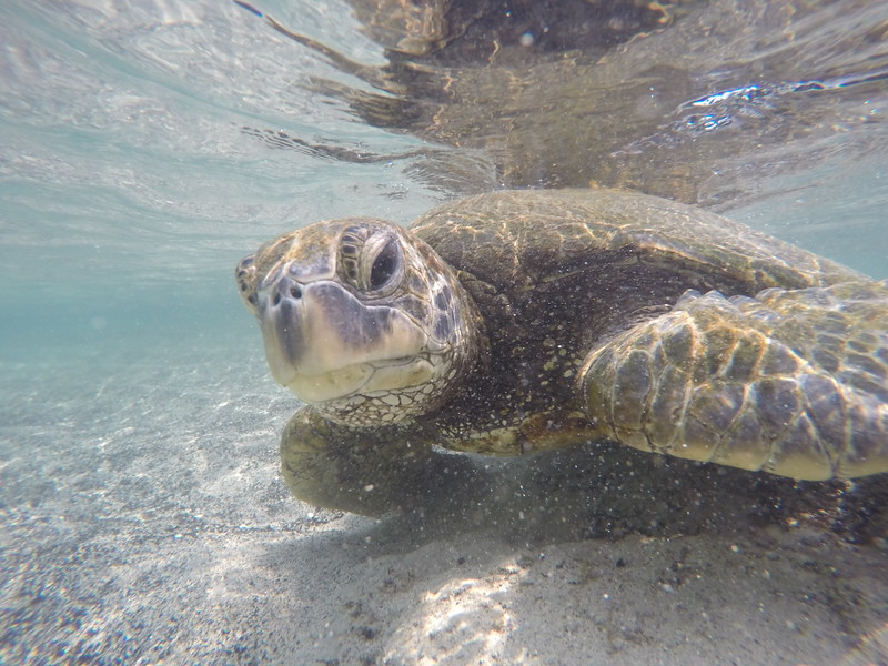 The young sea turtles are mostly omnivores. They will eat fish eggs, invertebrates, mollusks and even sponges. As they age, their diet simplifies until they are older when their diet consists of algae and sea grasses.