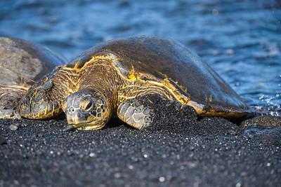 Green Sea Turtle on black sand beach (Big Island)